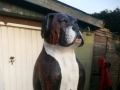 Boxer Dog Pet Carving